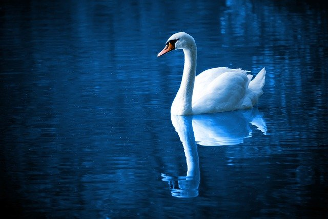 Swan, Lake, Reflection, Mirroring, Mirror Image