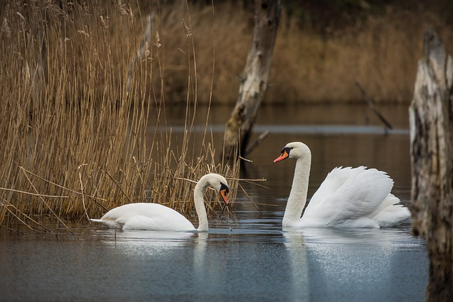 Waters, Swan, Lake, Bird, Nature, Animal World