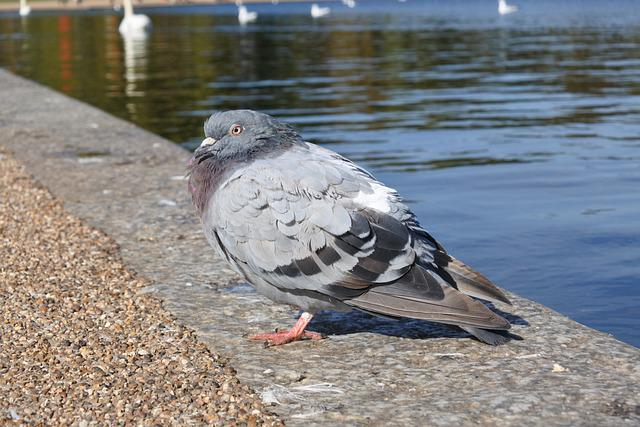 Pigeon, Lake, Nature, Wedge, The Wing