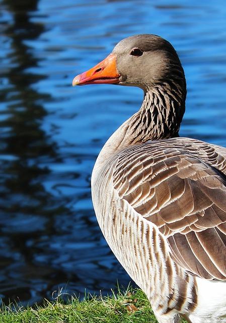 Duck, Pond, Lake, River, Bird, Water Bird, Water