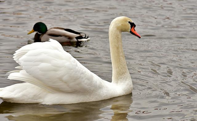 Swan, Duck, Pride, Harmony, Lake, Animal, Waterfowl