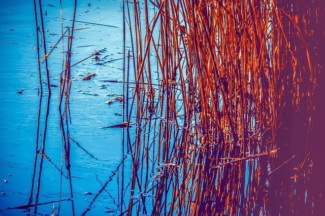 Reed, Plant, Lake, Water, Grass, Marsh Plant, Romantic