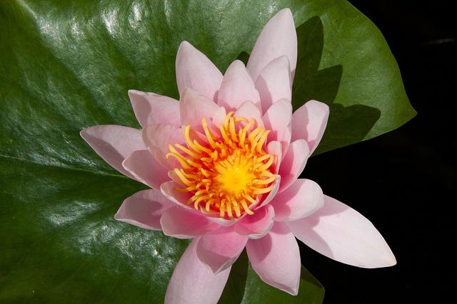 Water Lily, Nymphaea, Lake Rose, Aquatic Plant, Petals
