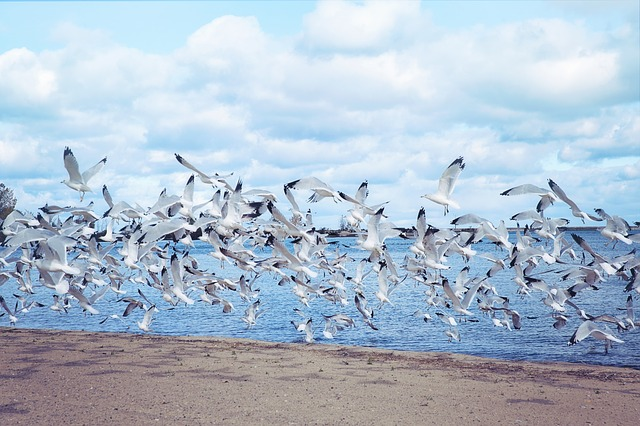 Sea Gulls, Seagulls, Lake, Flying, Birds, Sea, Gull