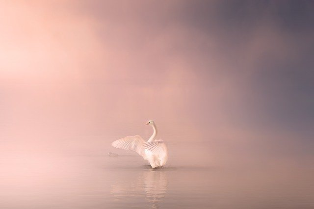 Swan, Lake, Water, Bird, Nature, Animal, White, Elegant