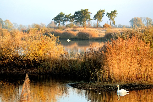 Landscape, Autumn, Lake, Swan, Reed, Golden