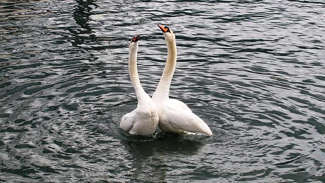 Swans, Swan Pair, Harmony, Happy, Lake, Lago Maggiore