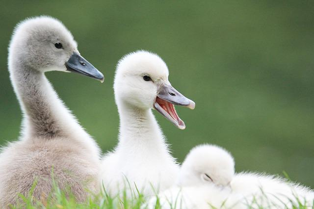 Swans, Baby Swan, Animal, Lake, Bird, Animals, White