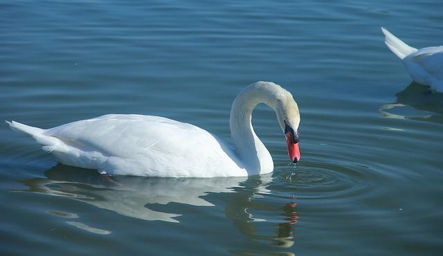 Water, Bird, Nature, Swan, Lake, Swimming, Animal