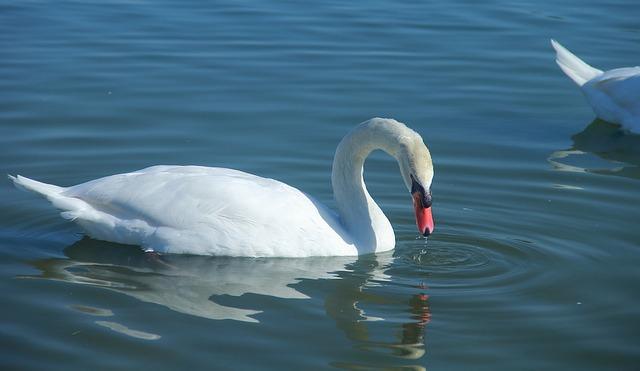 Water, Bird, Nature, Swan, Lake, Swimming, Animal
