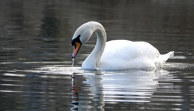 Swan, Water, Lake, White, Noble, Water Bird, Mirroring