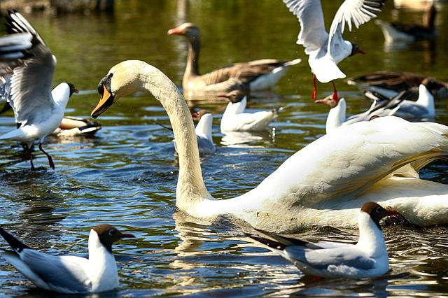 Swan, Lake, Nature, Bird, Wildlife