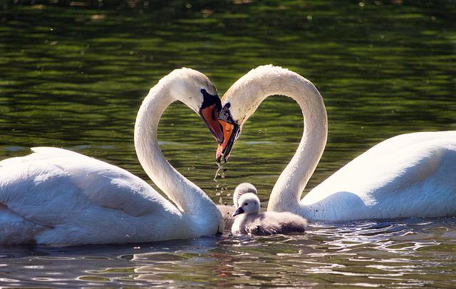 Love, Family, Swan Family, Young Swans, Swans, Lake