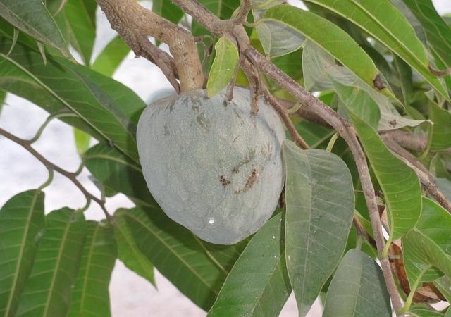 Soursop, Annona Muricata, Shul-ram-fal, Lakshmana Phala