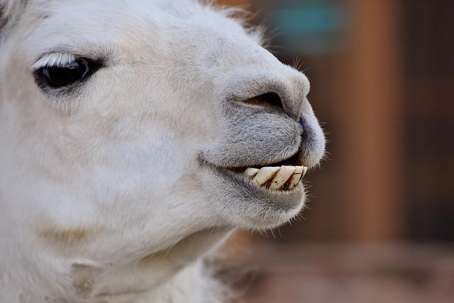 Lama, Lama Head, Animal, Head, Animal World, Mammal
