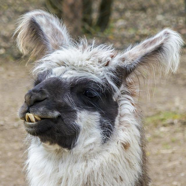 Lama, Animal, Head, Nature, Mammal, Alpaca, Wild Life