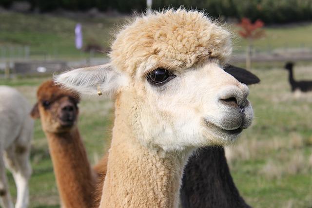 Adorable, Lamb, Alpacas, Lavender, Farm, Beautiful
