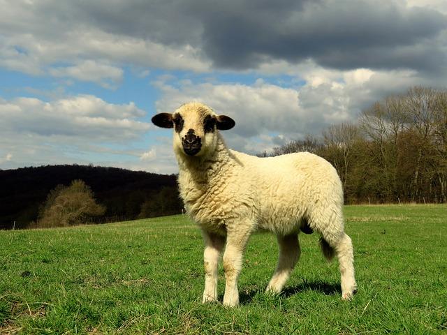 Sheep, Lamb, Meadow, Pasture, Lambs, Schäfchen