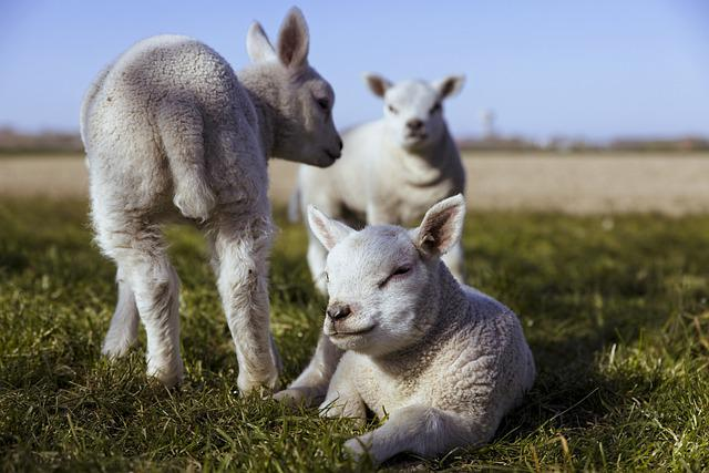 Lambs, Sheep, Lamb, Cattle, Animals, Wool, Herd