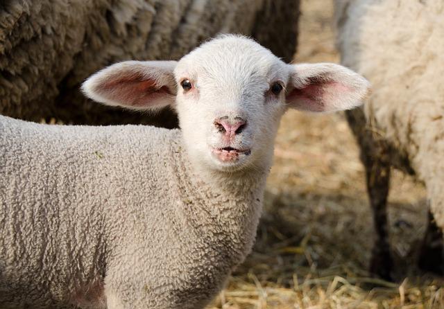 Lamb, Passover, Schäfchen, Cute, Animal, Lambs, Meadow