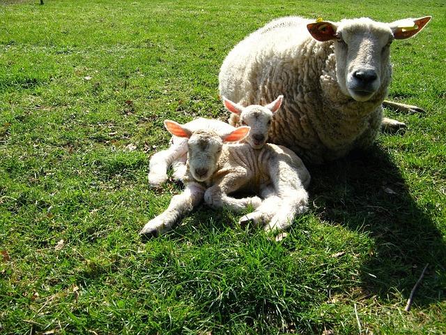 Sheep, Lambs, Meadow