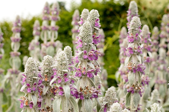 Lamiaceae, Blossom, Bloom, Violet, Flower, Plant