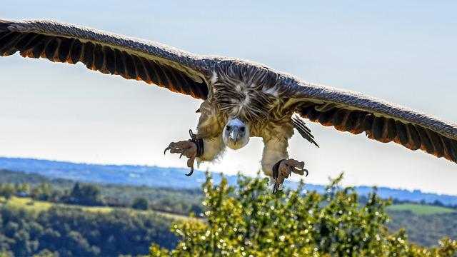 Vulture, Flight, Landing, Raptor, Sky, Scavenger, Fly