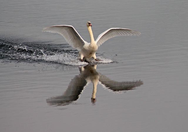 Water Bird, Swan, Lake, Water, Landing, Wing, Swans