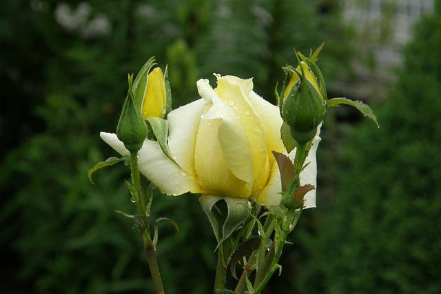 Yellow Rose, Landora, Floribunda, Rosebud