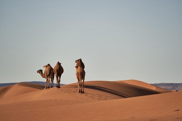 Desert, Sahara, Camels, Animals, Sand, Landscape, Dry