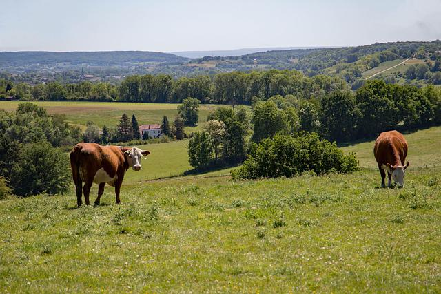 Cow, The Hills To The, Limburg, Hills, Landscape