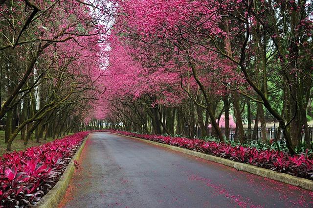 Cherry Blossoms, Road, Trail, Flower, Landscape