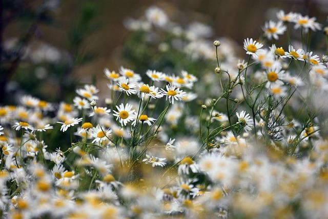 Chamomile, Flowers, Flower, Meadow, Summer, Landscape