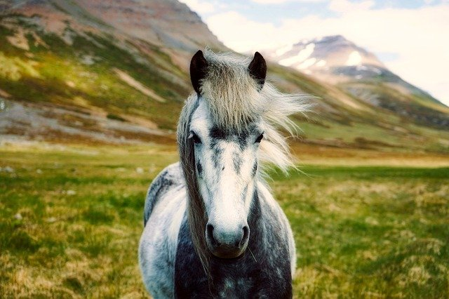 Iceland, Horse, Pony, Wild, Landscape, Beautiful