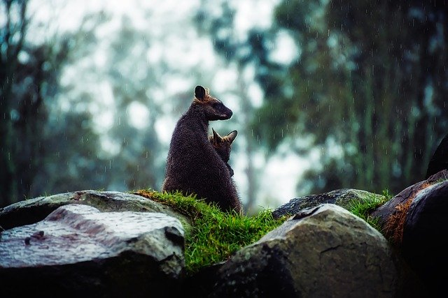 Wallaby, Kangaroo, Raining, Weather, Landscape, Wet