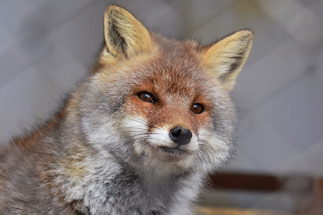 Animal, Fox, Face, Zoo, Natural, Landscape