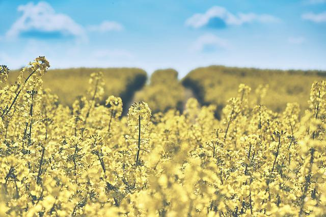 Field Of Rapeseeds, Oilseed Rape, Landscape, Coast