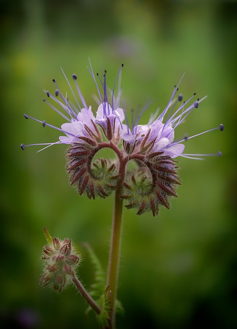 Phacelia, Bees, Field, Nature, Landscape, Bee Friend