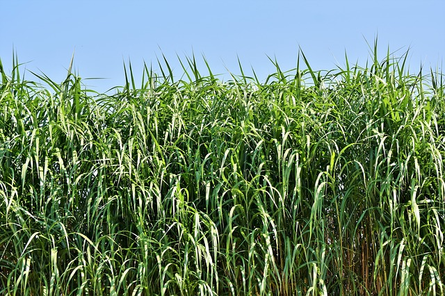 Reed, Grass, Landscape, Green, Bank, Grasses, Plant