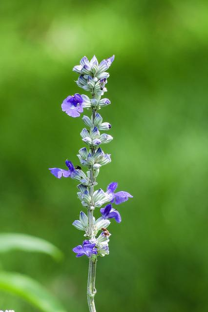 Sage, Natural, Plant, Flower, Landscape, Flowers
