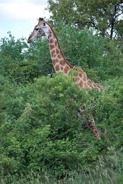 Giraffe, South Africa, Savannah, Landscape, Kruger Park
