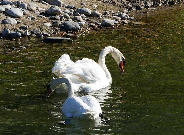 Nature, Landscape, River, Swans, Light, Sun