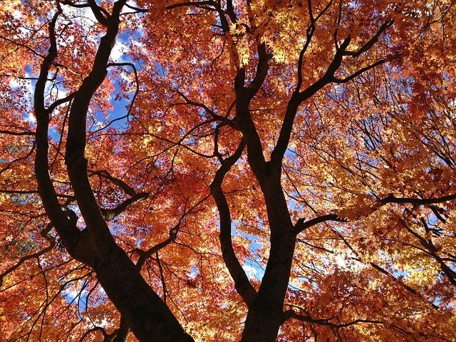 Maple Leaf, Tree, Landscape