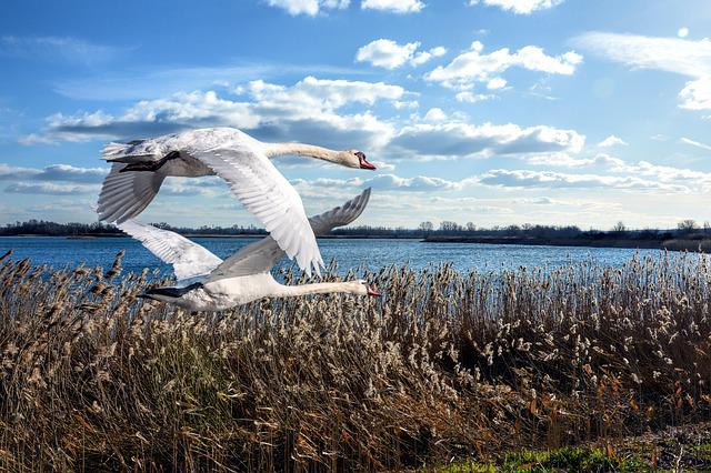 Birds, Swans, Flying, Landscape, Nature, Waters, Sky