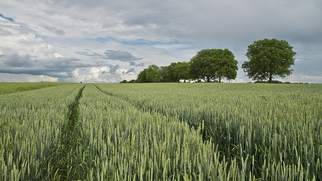 Wheat, Wheat Field, Cereals, Agriculture, Landscape