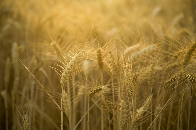 Wheat, Backlighting, Beautiful, Landscape, Gold Yellow