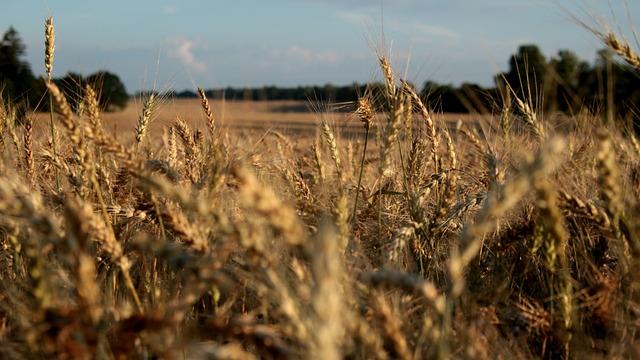 Nature, Wheat, Wheatfield, Summer, Landscape