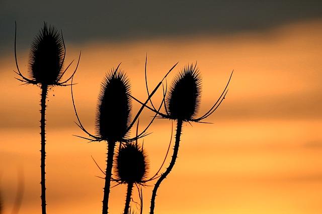 Sunset, Wild Teasel, Silhouette, Landscape