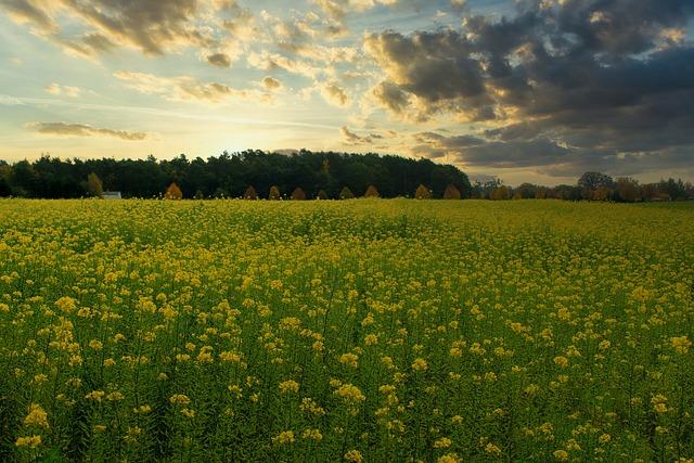 Autumn, Mustard, Field, Plant, Yellow, Landscape