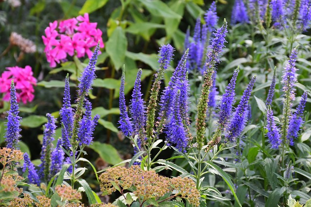Langblättriger Garden Speedwell, Veronica Longifolia